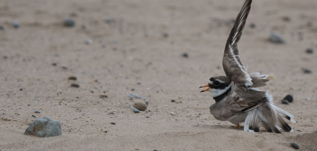 Common Ringed Plover broken wing display