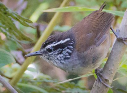 The Endemic Santa Marta Wood-wren perched during a birding tour in Colombia with Jaguarundi Travel