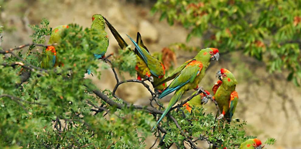 Red-Fronted-Macaws-Bolivia-Naturally