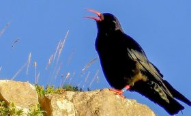 birdwatching in North Wales - Red-billed Chough