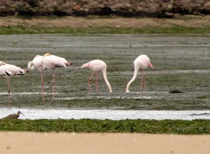 Tagus Estuary Birding great flamingo