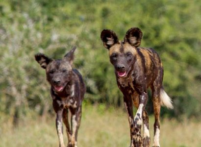 air safari kenya - wild dogs