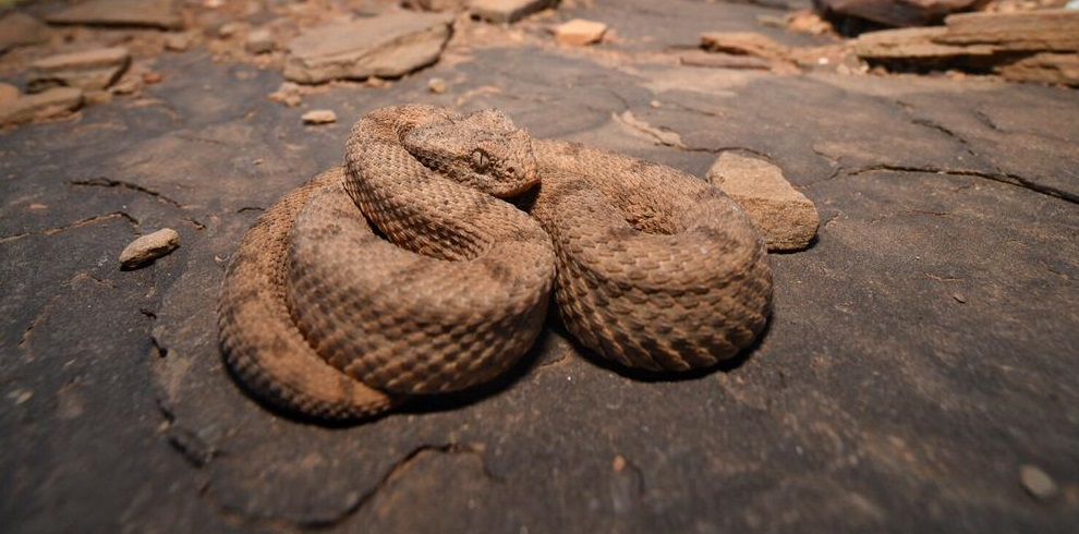 Desert Mountain Adder in Namibia, The Naturalist Collection
