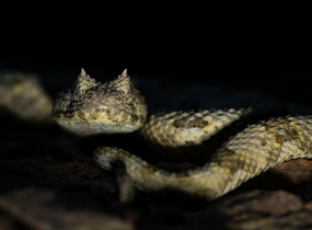 Horned Adder in Namibia The Naturalist Collection