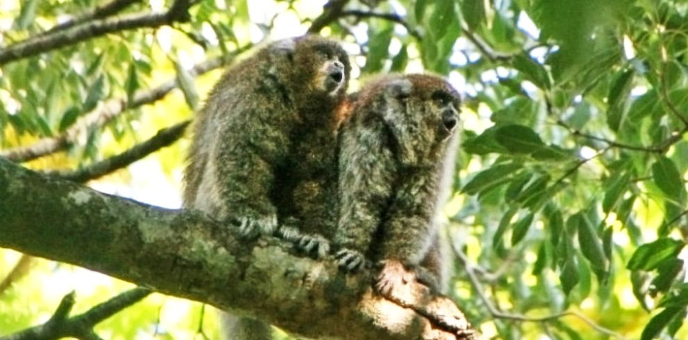 Titi-Monkeys-Bolivia-Naturally