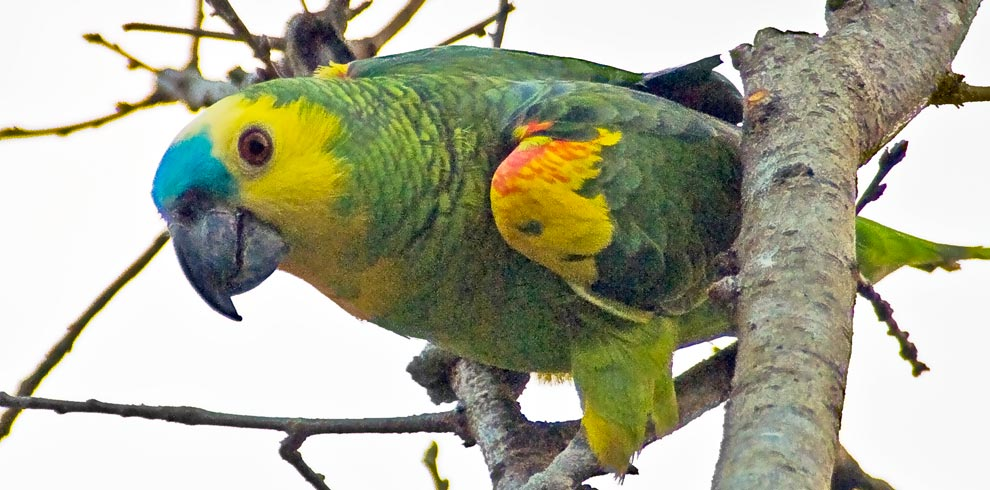Turquoise-Fronted-Parrot-Bolivia-Naturally