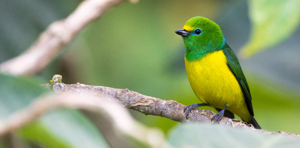 Blue naped Chlorophonia perched on a tree