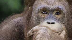 facts about orangutans