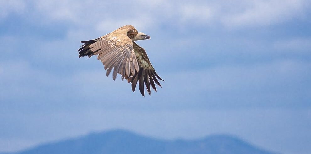 Griffon Vulture crossing from Africa to Europe