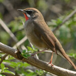 Siberian Rubythroat at Sultanpur National Park
