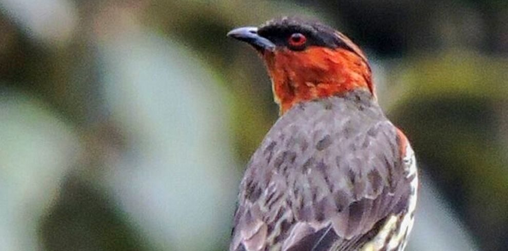Chestnut-crested Cotinga – Ampelion rufaxilla- Birds of Coombia