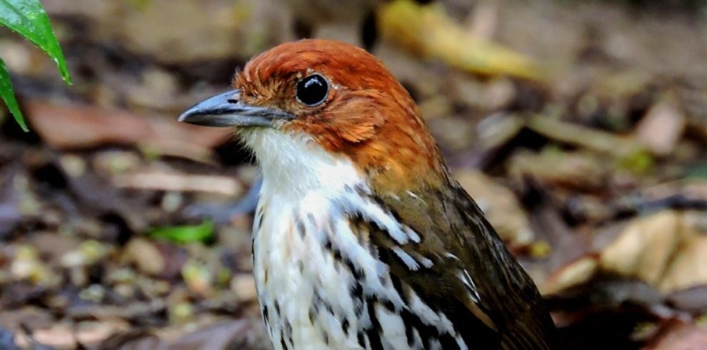 Chestnut-crowned Antpitta – Grallaria ruficapilla Birdwatching in Colombia
