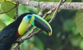 Citron-throated Toucan