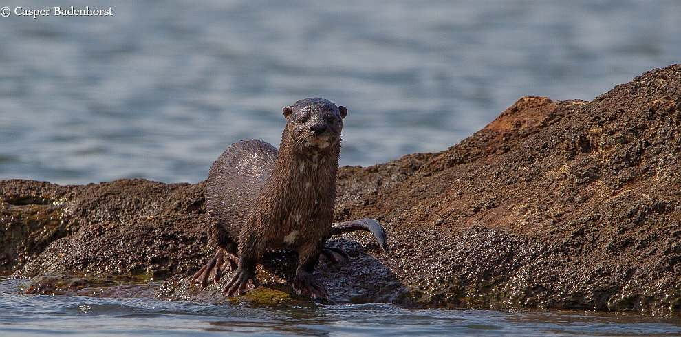 Lawson's Safaris – Spotted-necked Otter