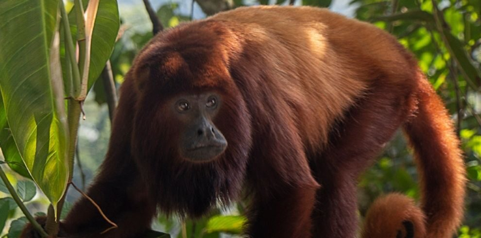 Red-howler Monkey – Alouatta seniculus – Mammals of Colombia