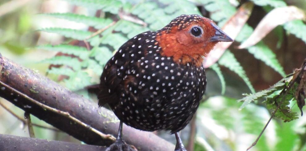 Ocelleted tapaculo