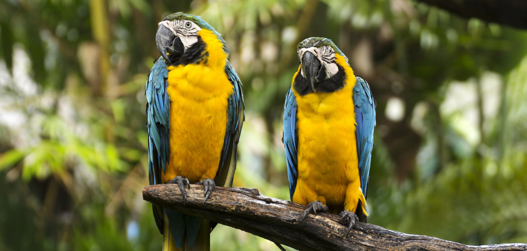 Closed Up yellow and blue Macaw on the tree